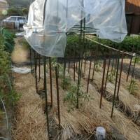 雨よけトマトの屋根作り