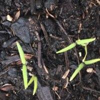 ダイソーの 野菜種から  まだまだ小さい!