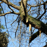 篠窪(しのくぼ)の三嶋神社で不思議な木の現象「気根(きこん)」を見た