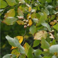 ★アブラチャンの実やエゴノキの実が黄色っぽくなってきた