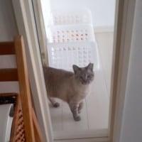 家政婦志望の猫
