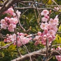 記念樹という桜を見に・・・・
