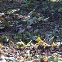 20170322 城山に片栗の花が咲き出した 04 Vario-Sonnar T* 35-135mm