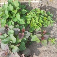 サツマイモ1個丸植えにチャレンジ
