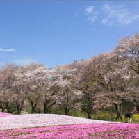桜観る日々・その3 ~奇跡の桜・芝桜コラボ(のはずだった・・・)@東武トレジャーガーデン