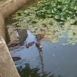 弁天池のカルガモの親子