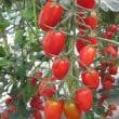 """仙台市の(農)井土生産組合でミニトマト""""アンジェレ""""の出荷が始まりました。"""