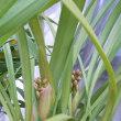 シンビジュームの花芽