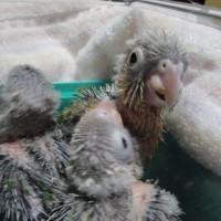 雛ちゃん 上の仔3羽