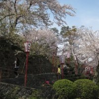 グリーンセンターの後は丸岡城でお花見。NO.1