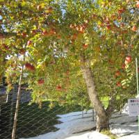 リンゴの巨木