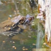 笑う迷い真鴨、蝦蟇合戦と東蟇蛙のアルビノ?、赤啄木鳥、懸巣など