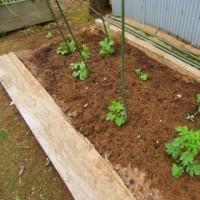 【有機肥料・ランドブレス】の畑のつやピカ野菜達