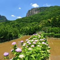 比叡山 と 矢筈岳  の 岩峰に彩り ~ 里山の アジサイ