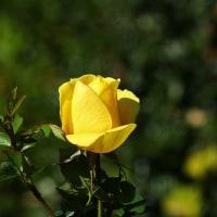 冬のバラ(黄)