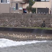 昨夜からの雨で増水、小橋の水門も開いているので、女川の浅野川も、今日は激しい流れです。