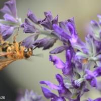 キンケハラナガツチバチ?