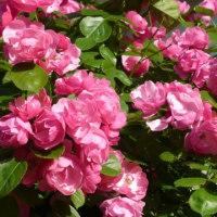 バラの季節です…多摩川夏景色シリーズ