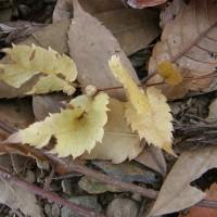 ケヤキの種子散布