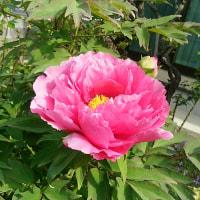 ことしもいっぱい12こも咲きました。