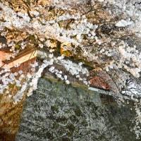 満開の桜を諏訪の名城に活ける。
