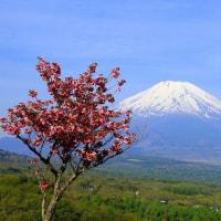 富士を彩る八重桜