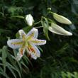 大暑には白い花
