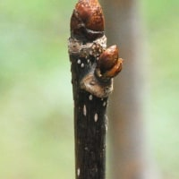樹木ウォッチング冬から夏へ174ハンカチノキ1