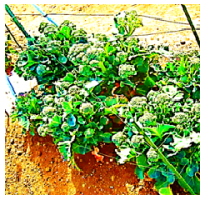 ブロッコリー 側花雷 の 収穫
