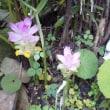 ウコンの花 ~ 「ウコンのちから」で有名な
