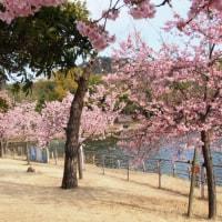 福田公園のカワズザクラ