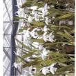 ゼロ磁場 西日本一 氣パワー・開運引き寄せスポット 夏咲カトレア花盛り(7月15日)