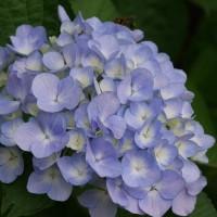 梅雨がもうすぐ、紫陽花がきれいです。