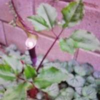 雪餅草が咲き終わりました。昨年と同じ一株です。