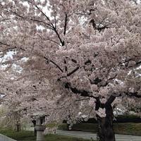 春のかほり