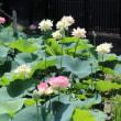 法華経寺竜王池の蓮花