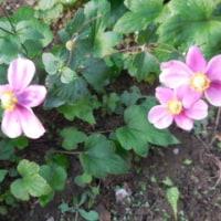 わが家の お花様達  627