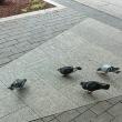 鳩も食事中かな