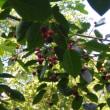 ジューンベリー収穫。。。