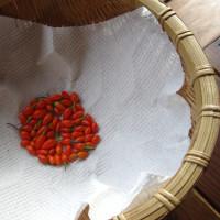 スーパーフード クコの実収穫