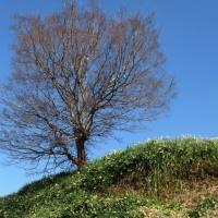 水仙の丘の御神木