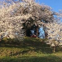 我が家付近も桜前線通過中。