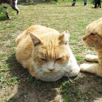 ねこにゃらーず 里親募集中の猫「アル」茶白♂のご紹介