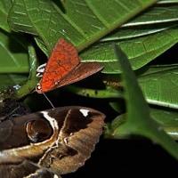 イヌビワの腐果に集まる蛾(ガ):カバイロオオアカキリバ