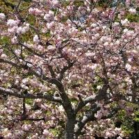 咲き誇る 桜花 (南伊勢町)