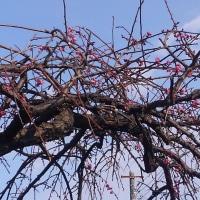 紅梅が咲き始め、メジロも喜んでいるのでしょうか…。