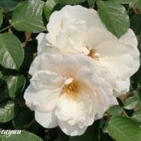 旧古河庭園「第17回 春のバラフェスティバル」開催中!!