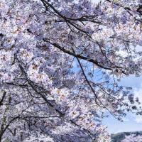 桜の季節も~