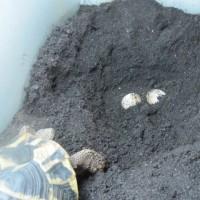ニシヘルマンリクガメの孵化仔・アンコが産卵