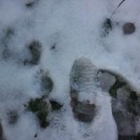 サンフジの収穫始まるー吹雪ー